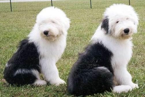 我最喜欢的狗种----老式牧羊犬